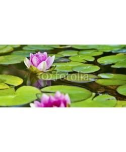 Aamon, Lotusblüte - Seerose im Teich