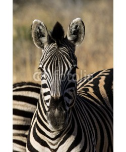 aberson, Zebra portrait