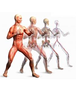 adimas, anatomy, muscles