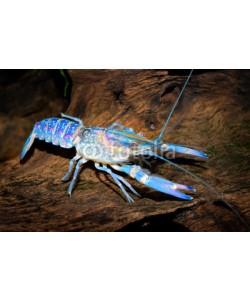 Aleksey Stemmer, colourful australian blue crayfish - cherax quadricarinatus