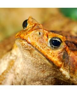 Aleksey Stemmer, large tropical toad close-up