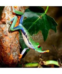 Aleksey Stemmer, red-eye tree frog  Agalychnis callidryas in terrarium