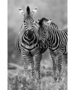 Alta Oosthuizen, Zebra mare and foal standing close together in bush for safety a