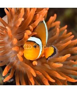 Aleksey Stemmer, clownfish in marine aquarium