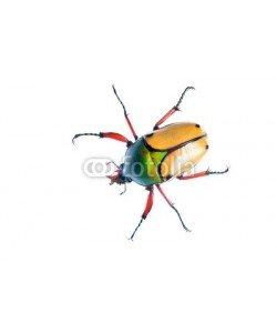 Aleksey Stemmer, large scarab beetle Eudicella smithii