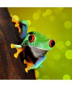 Aleksey Stemmer, red-eye frog  Agalychnis callidryas in terrarium