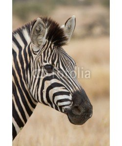 Alta Oosthuizen, Zebra portrait in nature lovely detail soft light
