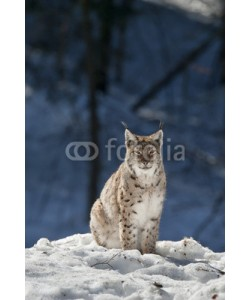 Andrea Izzotti, lynx in the snow