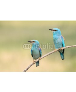 andreanita, A pair of Eurasian Rollers sitting together on a branch