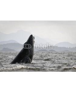 andreanita, Humback whale (Megaptera novaeangliae) breaching.