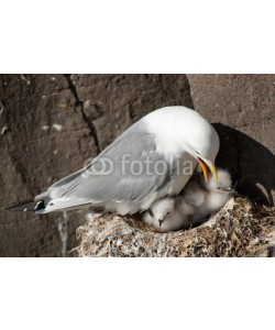 andreanita, Kittiwake with two chicks on a nest at the cliff.