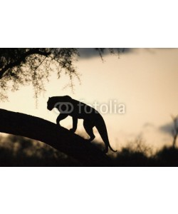 andreanita, Leopard walking on a tree at sunset.