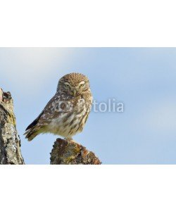 andreanita, Little owl on a old tree.