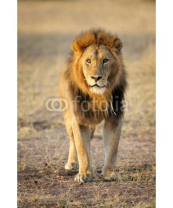 andreanita, Male Lion standing up front.
