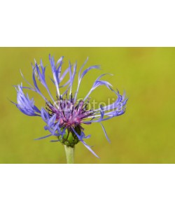 andreanita, Mountain bluet ( Centaurea montana) close-up.