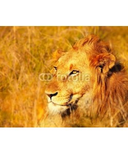 Anna Omelchenko, Beautiful wild african lion