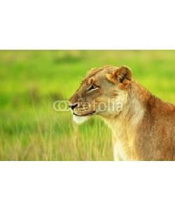 Anna Omelchenko, Beautiful wild african lioness