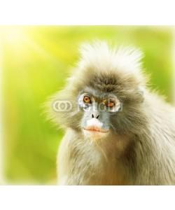 Anna Omelchenko, Dusky Leaf Monkey