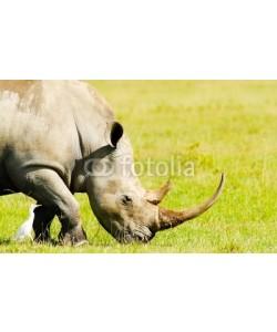 Anna Omelchenko, Rhinoceros in the wild
