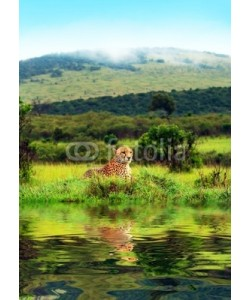Anna Omelchenko, Wild african cheetah