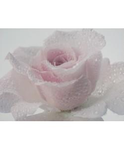 Anonym, Pink Rose