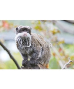 Andrea Izzotti, Emperor Tamarin monkey isolated close up portrait