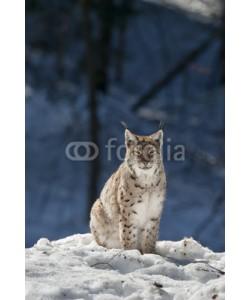 Andrea Izzotti, lynx in the snow