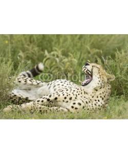 andreanita, Cheetah portrait lying in grass.