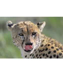 andreanita, Cheetah portrait