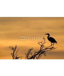 andreanita, Grey Heron in treetop with sunset.