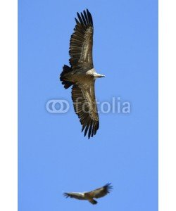 andreanita, Griffon Vulture flying against sky and one in background