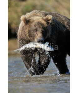 andreanita, Grizzly Bear catching a salmon.