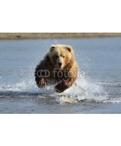andreanita, Grizzly Bear jumping at fish