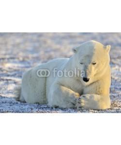 andreanita, Polar bear lying at tundra.