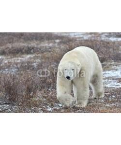 andreanita, Polar bear walking on tundra during blizzard.