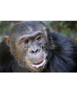 andreanita, Portait of a Chimpansee