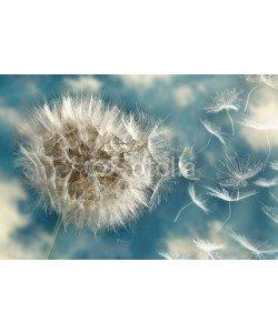 angelo lano, Dandelion Loosing Seeds in the Wind