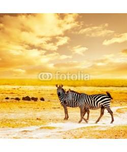 Anna Omelchenko, African wild zebras