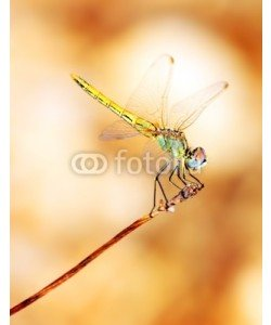 Anna Omelchenko, Closeup portrait of dragonfly