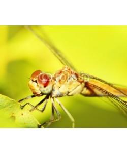 Anna Omelchenko, Extreme closeup on dragonfly eyes