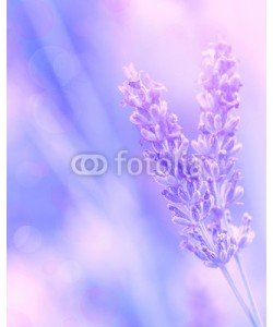 Anna Omelchenko, Lavender flower