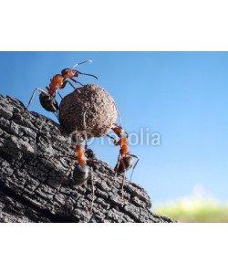 Antrey, team of ants rolls stone uphill, teamwork concept
