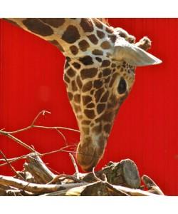 Berhard Böser, Giraffe