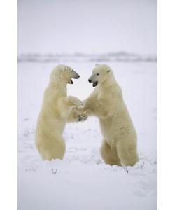 Konrad Wothe, Polar Bear two males play-fighting, Huds