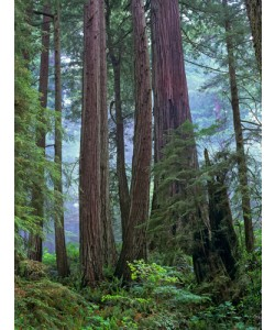 Tim Fitzharris, Old growth forest of Coast Redwood stand
