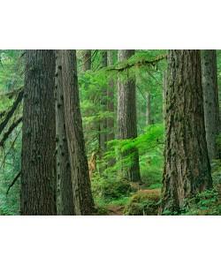 Tim Fitzharris, Old growth forest of Western Red Cedar G