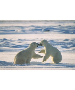 Konrad Wothe, Polar Bear males fighting, Hudson Bay, C