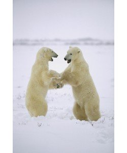 Konrad Wothe, Polar Bear two males play-fighting, Huds