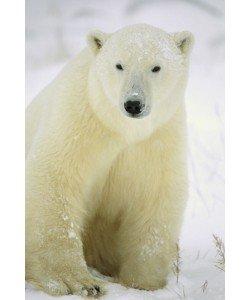 Konrad Wothe, Polar Bear adult portrait, Churchill, Ca