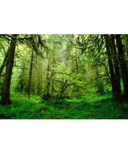 Gerry Ellis, Rainforest,Hoh River Valley,Olympic Na